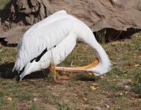 Pelikan ono przygotowywa Zdjęcie Royalty Free