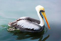 Pelikan på Ballestas öar, Peru Sydamerika i den Paracas nationalparken Arkivfoto