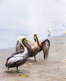 Pelikan på Ballestas öar, Peru Sydamerika i den Paracas nationalparken. Arkivfoto