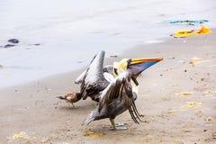 Pelikan på Ballestas öar, Peru Sydamerika i den Paracas nationalparken. Royaltyfria Bilder