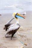 Pelikan på Ballestas öar, Peru Sydamerika i den Paracas nationalparken Royaltyfri Fotografi