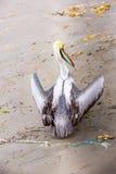 Pelikan på Ballestas öar, Sydamerika i den Paracas nationalparken. Flora och faunor Royaltyfri Foto