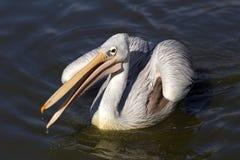 Pelikan på bevattna Fotografering för Bildbyråer