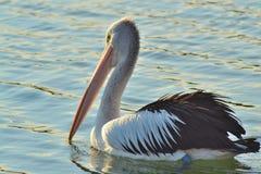 Pelikan på bevattna Arkivfoto