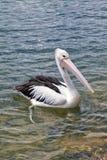 Pelikan på bevattna Royaltyfria Bilder