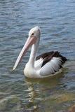 Pelikan på bevattna Arkivfoton