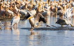 Pelikan på bevattna kenya Arkivbilder