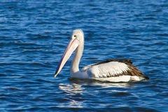 Pelikan på blått vatten Royaltyfri Fotografi