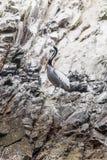 Pelikan på de Ballestas öarna - naturreserv Peru Arkivbild