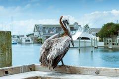 Pelikan på den Hatteras ön Arkivbilder