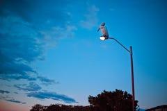 Pelikan på en gatalampa Arkivbilder
