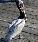 Pelikan på en pir Royaltyfri Foto