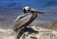 Pelikan på en sten Royaltyfri Fotografi