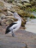 Pelikan på en stenig strand Arkivfoton