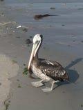 Pelikan på en strand Royaltyfria Bilder