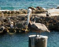 Pelikan på en vän Royaltyfri Foto