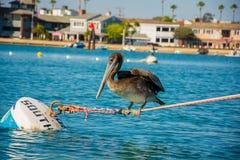 Pelikan på ett rep Arkivfoto