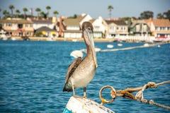 Pelikan på ett rep Arkivbilder