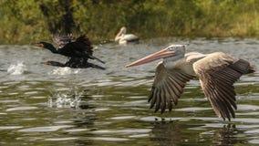 Pelikan på flyg Fotografering för Bildbyråer