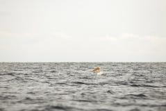 Pelikan på havet Arkivbild