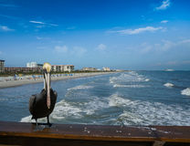 Pelikan på kakaostrandpir Arkivbilder