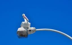 Pelikan på ljusa Pole Royaltyfri Fotografi