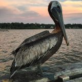 Pelikan på pir Royaltyfri Bild