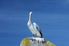 Pelikan på rocken Royaltyfri Fotografi
