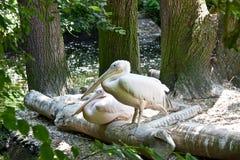 Pelikan på semester Fotografering för Bildbyråer