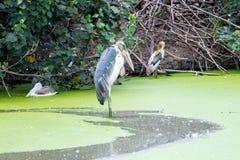 Pelikan på sjön i natur Arkivbild