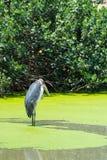 Pelikan på sjön i natur Arkivfoto