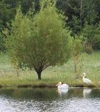 Pelikan på sjön med gäss Royaltyfria Bilder