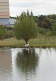 Pelikan på sjön med gäss Royaltyfri Fotografi