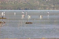 Pelikan på sjön Nakuru, Kenya fotografering för bildbyråer