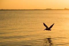 Pelikan på solnedgången Fotografering för Bildbyråer