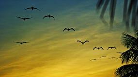 Pelikan på solnedgången royaltyfria bilder