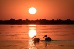 Pelikan på soluppgång i Donaudelta arkivfoto