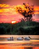 Pelikan på soluppgång i Donaudeltan, Rumänien royaltyfri foto