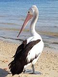 Pelikan på stranden på bribieön Royaltyfria Bilder