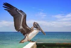 Pelikan på tagande-av Arkivbild