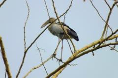 Pelikan på träd Royaltyfri Bild