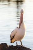 Pelikan på vaggar Arkivbild