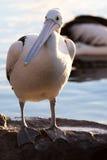 Pelikan på vaggar Royaltyfri Bild