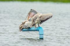 Pelikan på vatten (par) Royaltyfria Bilder