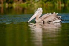 Pelikan på vatten Sydafrika arkivfoto