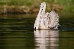 Pelikan på vatten Sydafrika arkivbilder