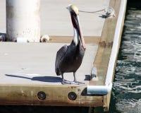 Pelikan pływa unosić się nad wodą w oceanu Tropikalnym raju w Los Cabos Meksyk Obraz Royalty Free
