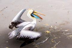 Pelikan på Ballestas öar, Peru Sydamerika i den Paracas nationalparken Arkivbild