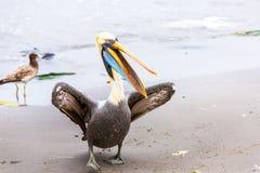 Pelikan på Ballestas öar, Peru Sydamerika i den Paracas nationalparken. Fotografering för Bildbyråer