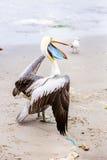 Pelikan på Ballestas öar, Peru Sydamerika i den Paracas nationalparken Royaltyfria Foton
